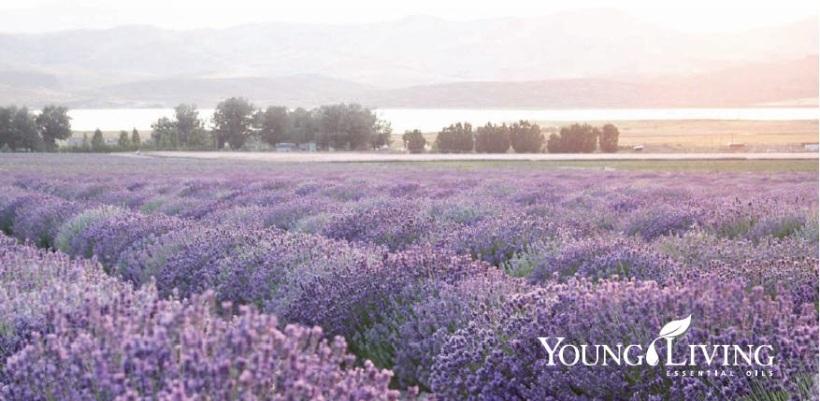 LavenderField1
